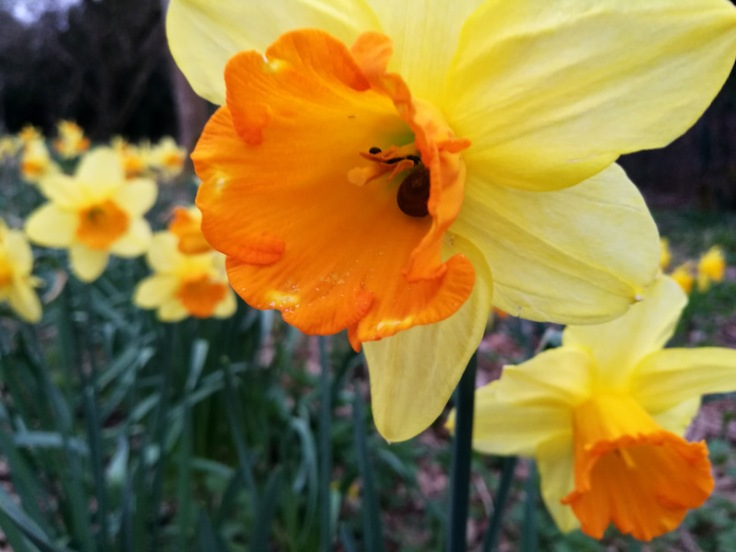 Daffodils - Narcissus Jetfire