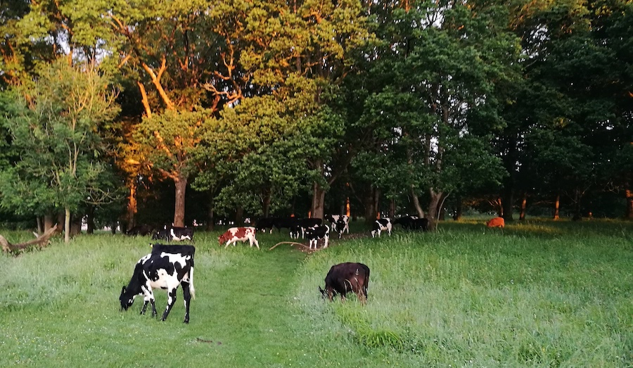 Sunrise at Badbury Rings, with cows